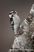 Downy Woodpecker Picture-11
