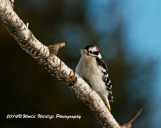 Downy Woodpecker Picture-25