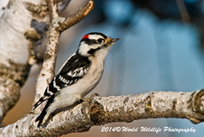 Downy Woodpecker Picture-34