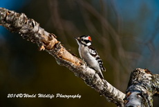 Downy Woodpecker Picture-36