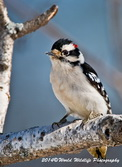 Downy Woodpecker Picture-39