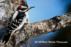 Hairy Woodpecker Picture-100