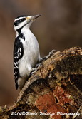Hairy Woodpecker Picture-28