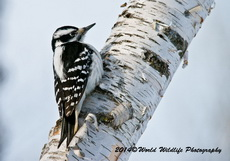Hairy Woodpecker Picture-72