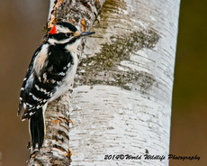 Hairy Woodpecker Picture-80