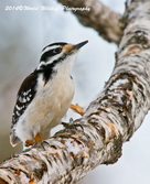 Hairy Woodpecker Picture-83