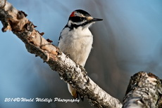 Hairy Woodpecker Picture-92