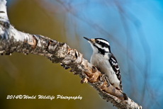 Hairy Woodpecker Picture-97