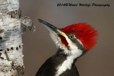 Pileated Woodpecker Picture Picture-5