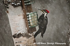 Pileated Woodpecker Picture Picture-59