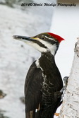 Pileated Woodpecker Picture Picture-69