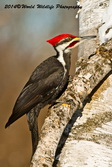Pileated Woodpecker Picture Picture-75