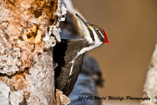 Pileated Woodpecker Picture Picture-82