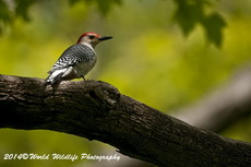 Red Bellied Woodpecker Picture-14
