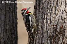 Yellow Bellied Sapsucker Picture-27