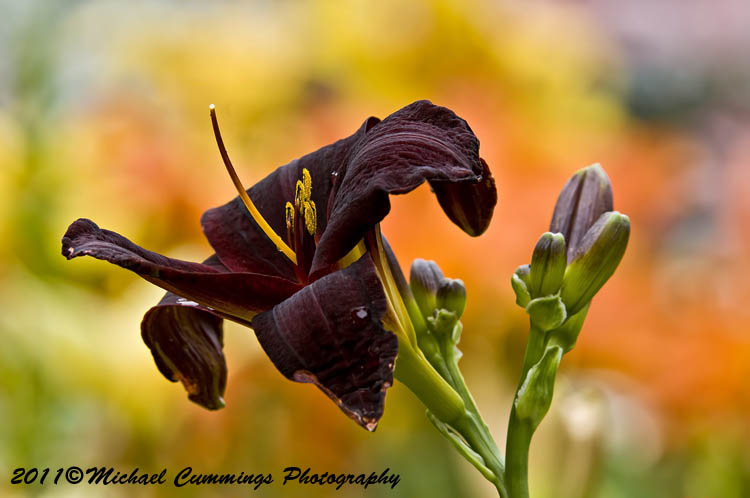 daylily pictures