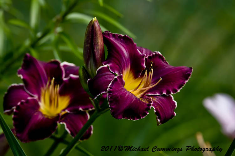 daylily picture