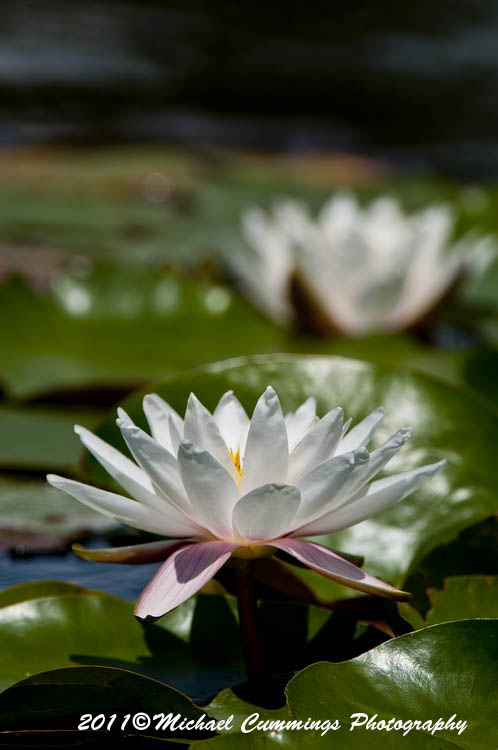 waterlily picture