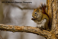 Red Squirrel Picture