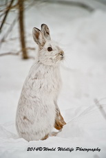 Snowshoe Hare Picture